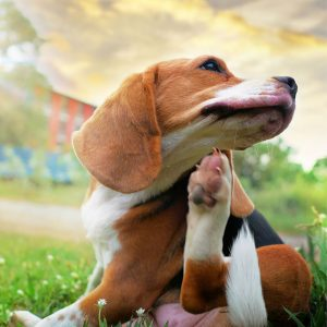 Best Dog Flea Treatment