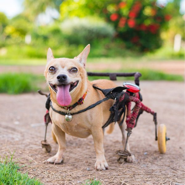 Best Dog Wheelchair – Reviews & Buying Guide