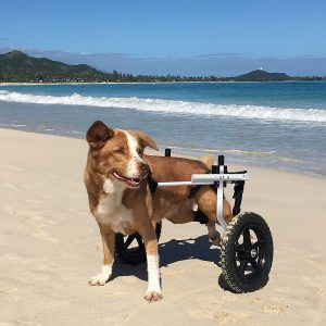 K9 Carts Veterinarian Established Dog Wheelchair